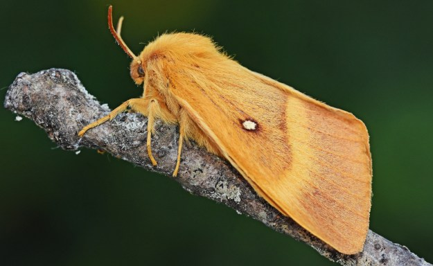 Orange moth with a yellow band and a white spot  on forewing