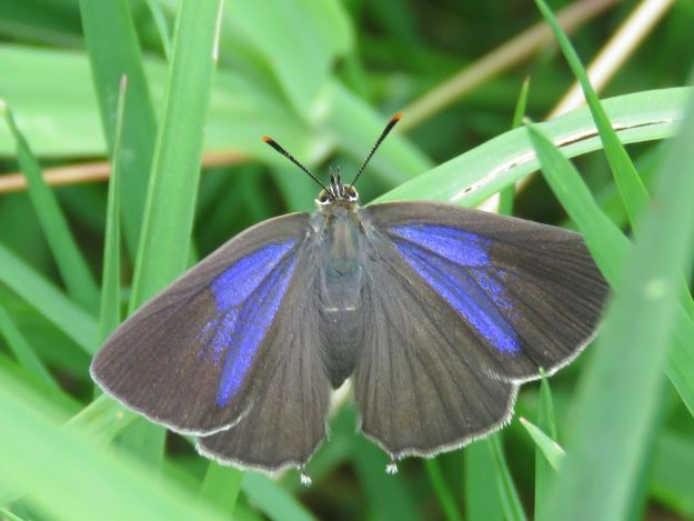 purple and charcoal butterfly with wings open