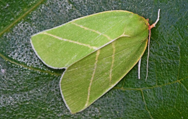 Green Moth with silver lines in the shape of two Vs
