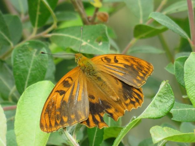Orange and dark brown butterfly with open wings