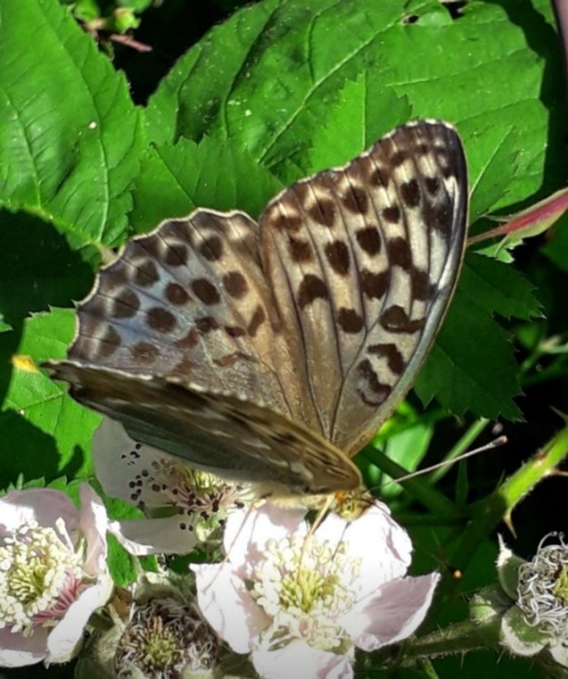 Greenish coloured Silver washed Fritillary , valesina form