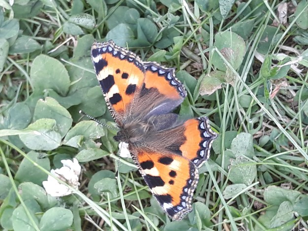 Orange butterfly with a lot of black and yellow marks, plus blue dots round the edge