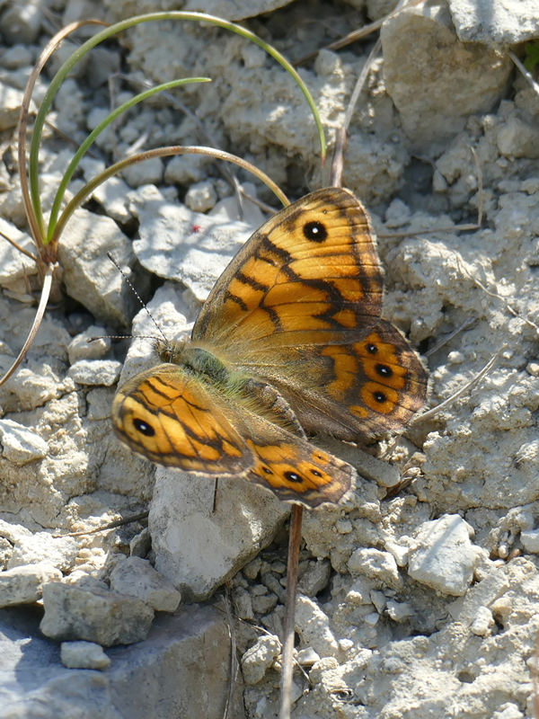 Orange and Brown butterfly with brown lines and eyespots