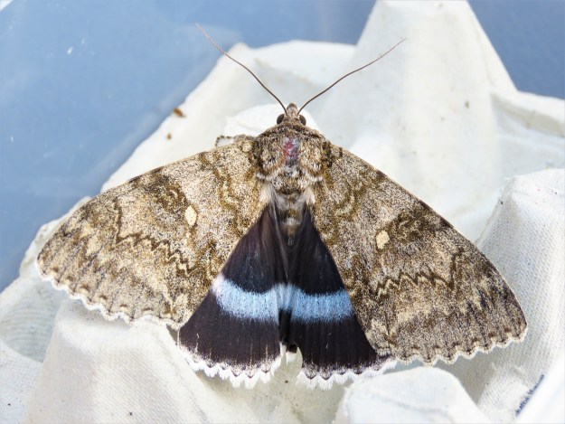 Large grey /brown moth with striking black underwings with pale blue crossband