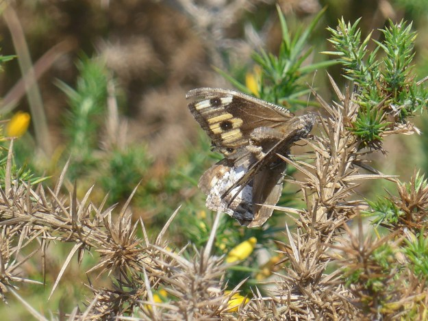 View of Brown, grey, white and yellow butterfly on gorse