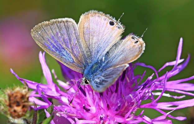 Small blue-brown butterfly with tiny tails to its hind wings