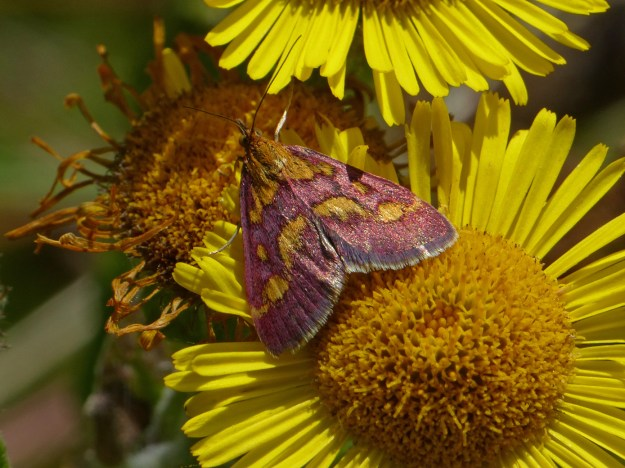tiny red and gold moth on Fleabane