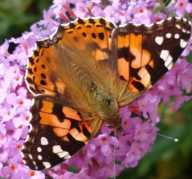 Orange, black and white butterfly on a bright pink buddleia flower