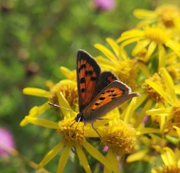 Orange and Brown spotted butterfly nectaring on Ragwort