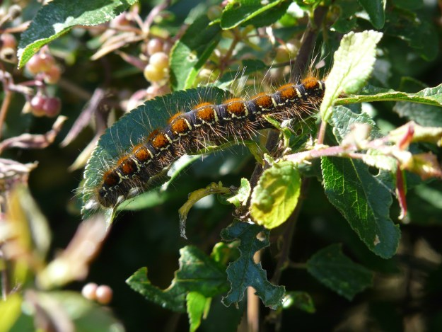 a colourful caterpillarfeeding on an evergreen shrub