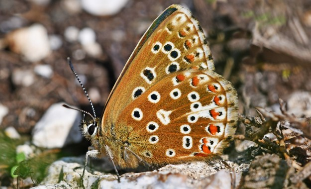 View of light brown butterfly with black, white and orange spots on it's wings