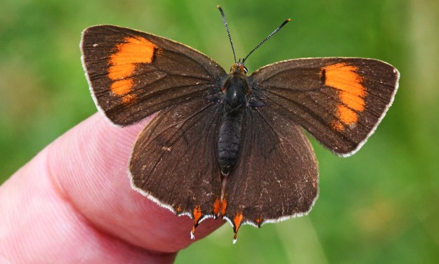 Brown and Orange butterfly on fingertip