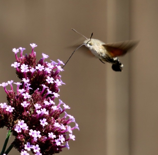 A tiny orange ,grey and white bird like moth hovering and nectaring at Verbena flowers