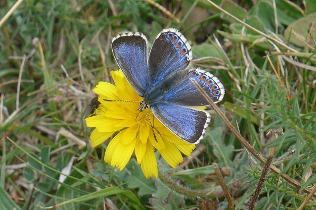 View of Blue butterfly nectaring on yellow flower.