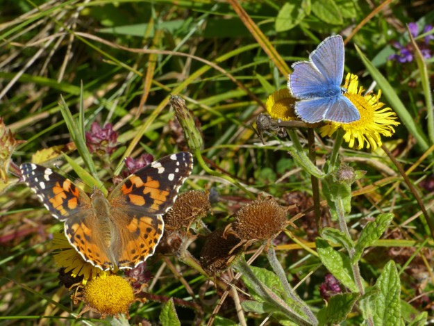 View of an Orange and brown butterfly together with a Blue butterfly, both nectaring on wild flowers