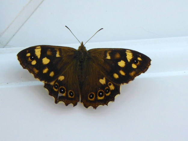View of chocolate brown butterfly with creamy yellow markings on the wings