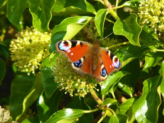 View of red butterfly with white, blue and black eye spots on wings nectaring on an Ivy flower.