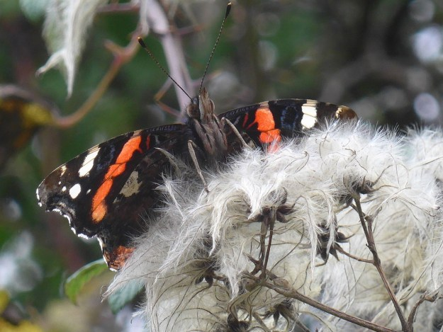 View of black and reddish orange butterfly with some white wings markings whilst resting on greyish white Old Man's Beard plant.
