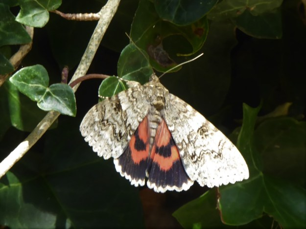Large grey /brown moth with striking red/black hind-wingss