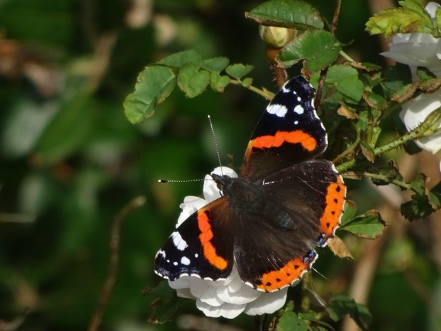 View of black and reddish butterfly with some white wing markings