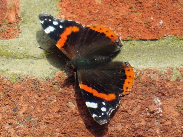 View of reddish orange and black butterfly with some white markings on wings resting on a brick wall..