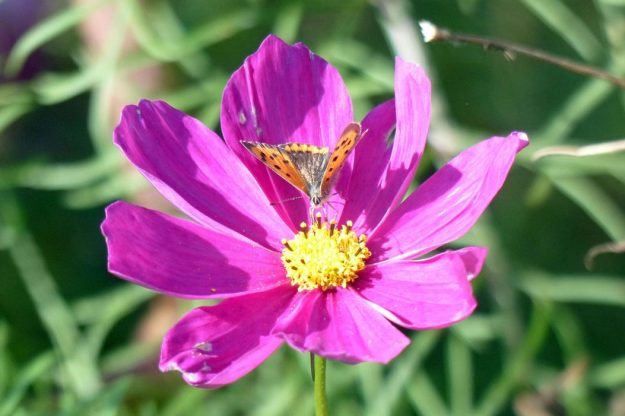 View of small orange and black butterfly on deep pink Cosmos flower