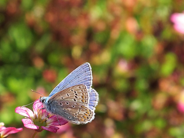 a blue butterfly nectaring on a pink flower shoing the underwing markings