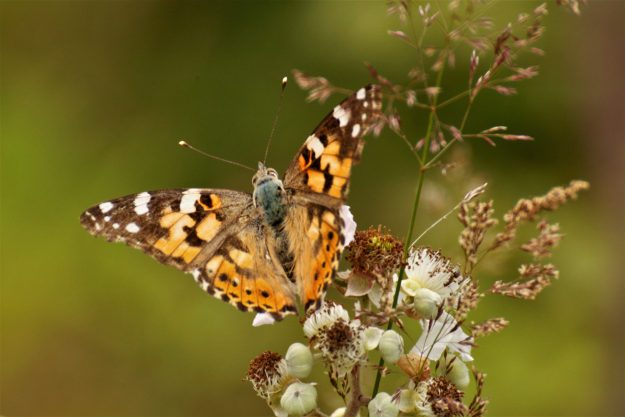 Orange Butterfly with dark brownand white  markings around wings resting on a seed head