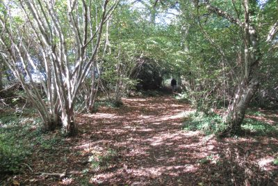 Leaf-littered track through re-sprouting coppiced trees