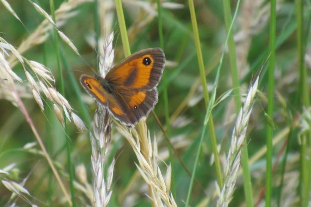 Bright Orange and Brown butterfly resting on grasses with wings open