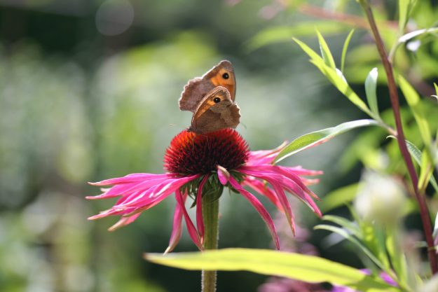 Two brown and orange butterflies on a bright pink flower with an orange centre