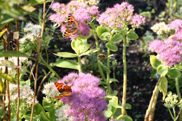 Two different butterfies on pale pink sedum flowers