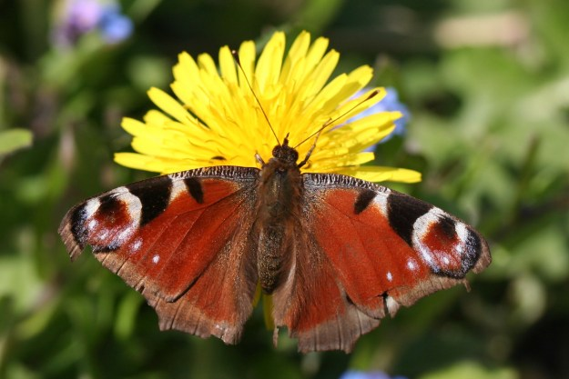 Chestnut brown butterfly on yellow dandelion