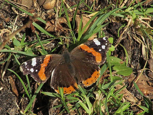 View of a reddish orange and black butterfly with white markings on wingtips resting on the ground.