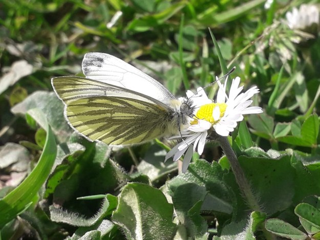 View of a white butterfly with dark veins on the hindwings nectaring on a white flower.