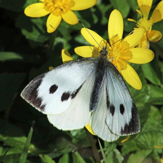 View of white butterfly with black markings resting on a yellow flower
