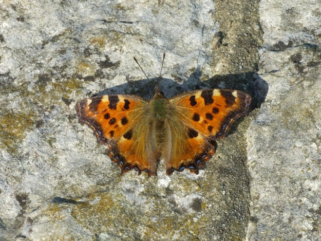 View of Orange butterfly with black and yellow markings