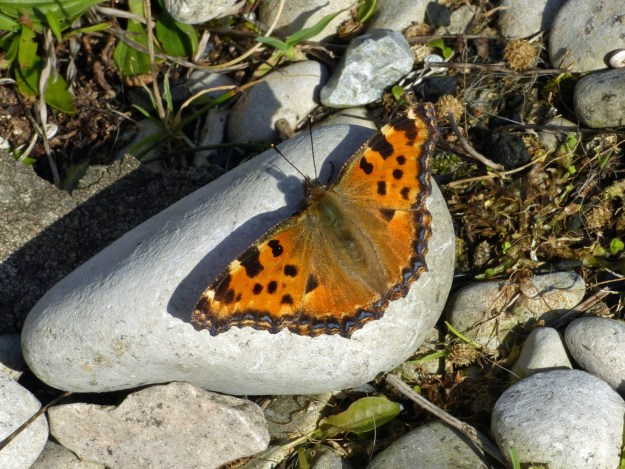 View of orange butterfly with black and yellow markings.