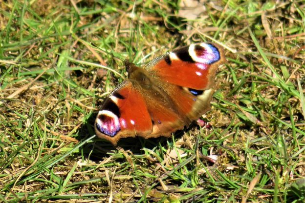 View of a red butterfly with blue, black and white markings resting on the ground
