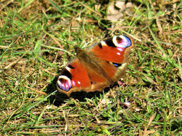 View of a red butterfly with blue, brown, black and white markings resting on the ground