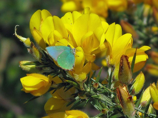 View of a green butterfly on a yellow gorse flower.