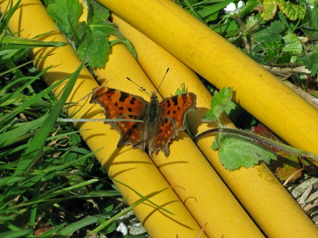View of orange butterfly with black markings resting on a yellow garden hosepipe.