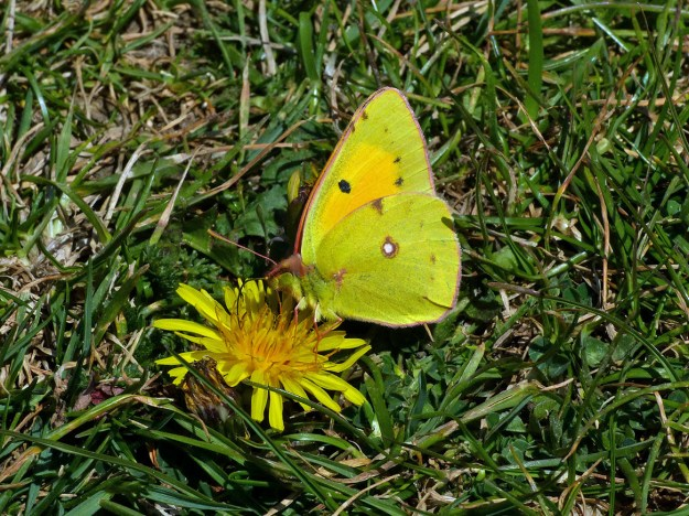 View of a yellow butterfly nectaring on a yellow flower