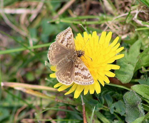 View of a brown butterfly nectaring on a yellow flower
