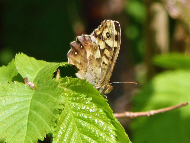 View of a chocolate brown and cream butterfly resting on a green leaf