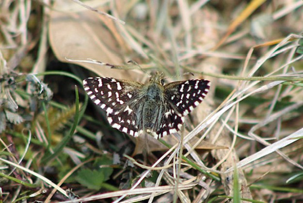 View of a resting dark blackish brown butterfly with white chequer markings