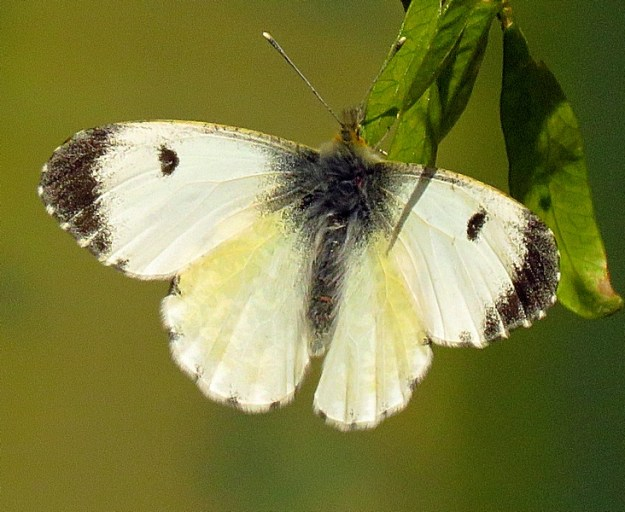 View of a white butterfly with black tips to the wings resting on a green leaf.