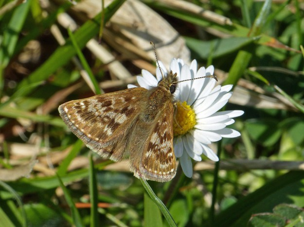 View of a brown butterfly nectaring on a white flower.