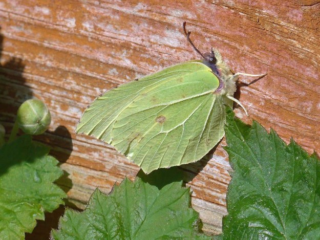 View of a greenish yellow butterfly resting on a timber shed.