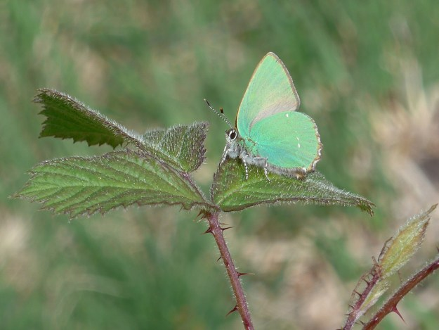 View of a green butterfly resting on a green leaf